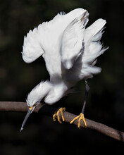 Snowy Egret Bird Close-up Prof...