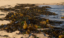 Beach Covered With Dense Seawe...
