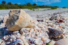 Horse Conch (Pleuroploca Gigantea) The State Shell Of Florida On Top Of Bivalve Seashells, Bowdens Beach, Sanibel Island,Florida,USA