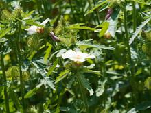 Hibiscus Trionum | Ketmie D'Af...