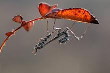 Graceful Insect Empusa Pennata...