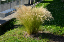 Ornamental Steppe Grasses Can ...
