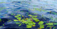 Banner Of Water Lily Leaves Sw...