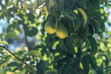 Beautiful Fresh Young Pears Gr...