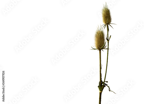 Fotografering a thistles  prickly plant  isolated on the white background