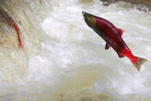 Sockeye Salmon Leaping Over Waterfall. ( Oncorhynchus Nerka )
