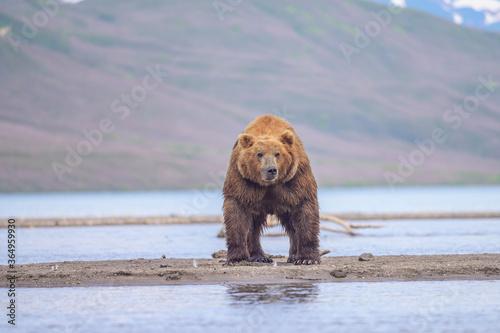 Fotografie, Tablou Ruling the landscape, brown bears of Kamchatka (Ursus arctos beringianus)
