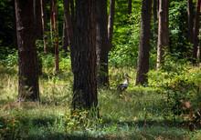 Stork Walks Among The Trees In...