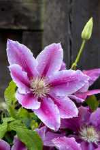 Raindrops On A Pink Clematis Blooming In An English Garden