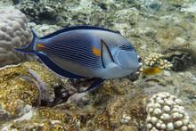 Sohal Surgeonfish (Acanthurus ...