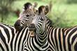 canvas print picture - Zebra Kruger Park South Africa