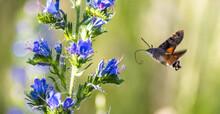Macroglossum Stellatarum Flyin...