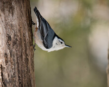 White-Breasted Nuthatch Bird S...