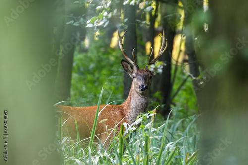 Obraz Jeleń młody byk Cervus elaphus elaphus w lesie - fototapety do salonu