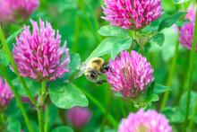 Bumblebee Pollen On Pink Clover