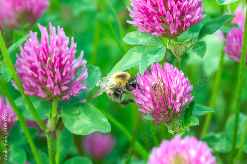 Obraz na płótnie Bumblebee pollen on pink clover