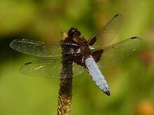 Broad-bodied Chaser (Libellula Depressa) - Big Blue Dragonfly, Gdansk, Poland