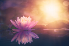 Pink Lotus Flower In Water Wit...