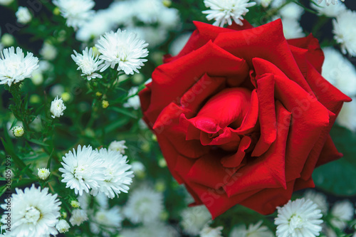 Tela red rose in the garden