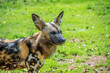 canvas print picture - African painted dogs