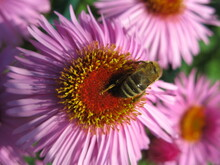 Honey Bee On A Pink New England Aster Flower (Symphyotrichum Novae-angliae)