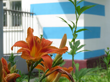 Orange Daylily Close-up, In The Background A Blue, White Wall And A Fence