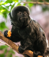 Goeldi's Marmoset Or Goeldi's Monkey (Callimico Goeldii)