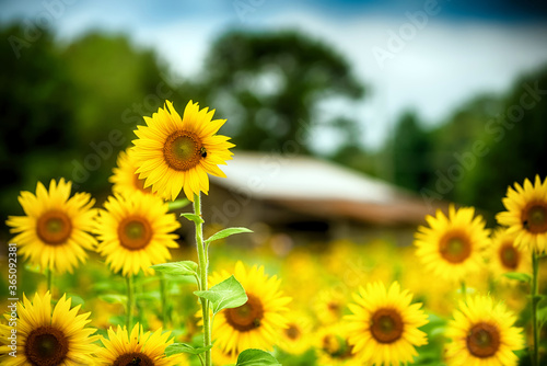 Fresh sunflowers blooming on farm during summer Wallpaper Mural