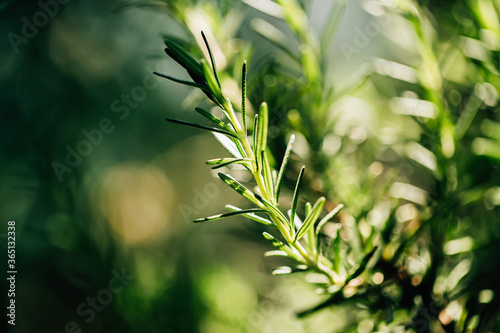 Photo Fresh Rosemary Herb grow outdoor. Rosemary leaves Close-up.