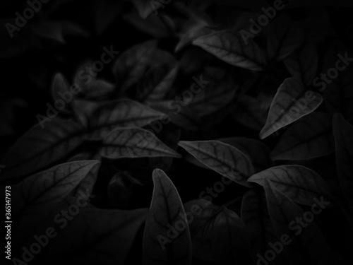 Fototapety, obrazy: Beautiful abstract color gray and white flowers on dark background and light pink flower frame and dark leaves texture, dark background, colorful graphics banner, white leaves, black leaves
