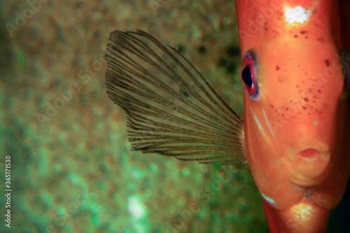 Fototapeta Paletka / Dyskowiec ryba akwariowa obraz