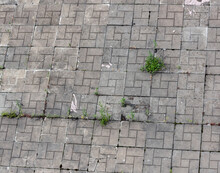 Old Paving Slabs With Sprouted...