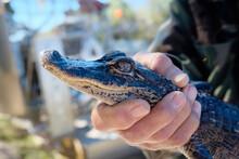 Baby Alligator Head Held By Human Held In Florida Everglades