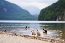 Ducks On Lake Shore