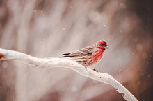 House Finch Perching On A Branch
