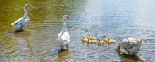 A Goose With Small Goslings Sw...