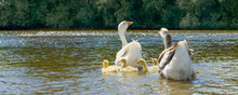 A Goose With Small Goslings Swims On The Water Near The Shore
