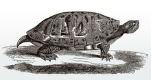 Northern Red-bellied Turtle Or...