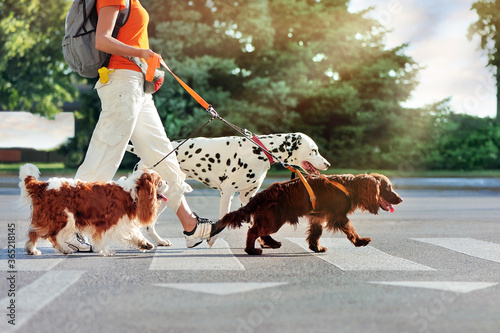 Fototapeta Dog walking of three purebred dogs in the city obraz