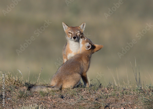 Valokuva A red fox vixen keeps a watchful eye out while getting a kiss from her pup