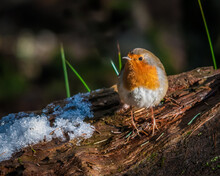 Robin Perched On A Snow Covere...