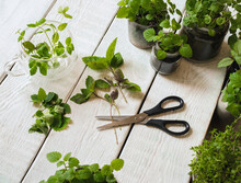 Homemade Herbs In Pots And Gla...