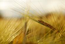 Barley Field In A Beautiful Su...