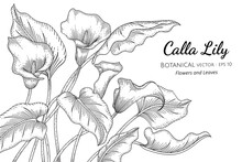 Calla Lily Flower And Leaf Hand Drawn Botanical Illustration With Line Art On White Backgrounds.