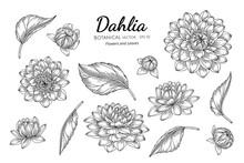 Set Of Dahlia Flower And Leaf ...