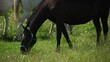 Lipizzan horses graze on a green meadow.