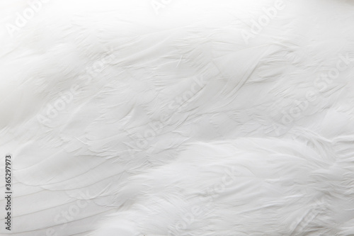 Fotografia Textura de plumas de ganso de color blanco