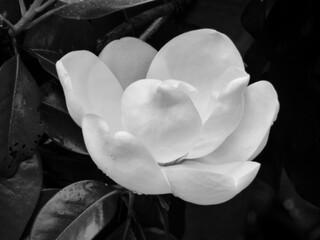Panel Szklany Do salonu black and white study of magnolia blossom