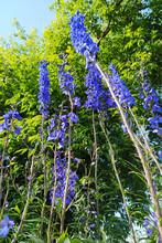 Blue Tall Garden Flowers In Summer