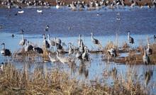 Sandhill Cranes In Their Winter Quarter In Southern Arizona